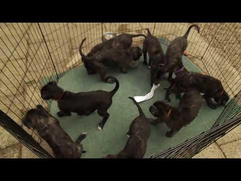 Deerhound x Lurcher Pups 50 days Old!