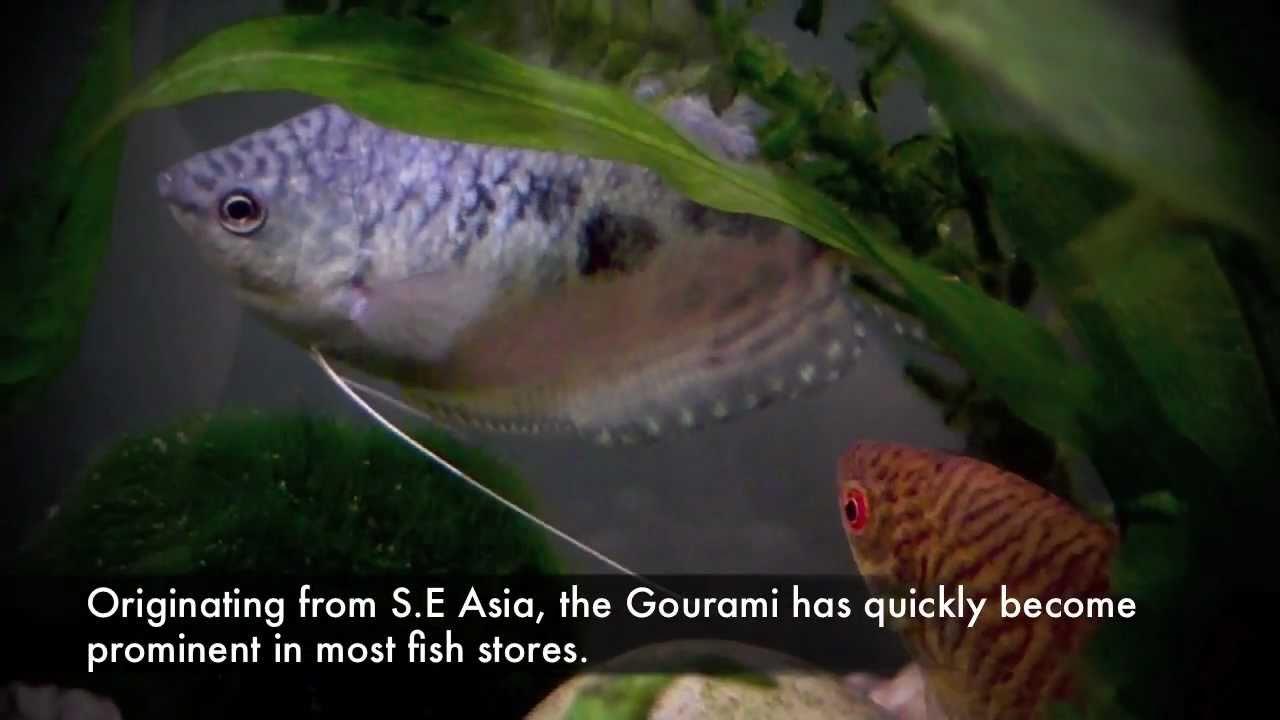 Freshwater aquarium fish profiles - Freshwater Aquarium Fish Profiles