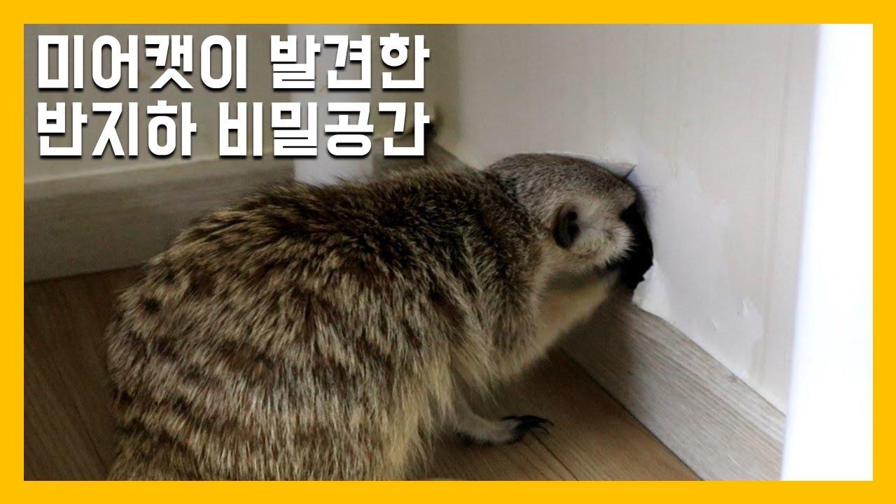 미어캣이 발견한 반지하 비밀공간 [냥이아빠]