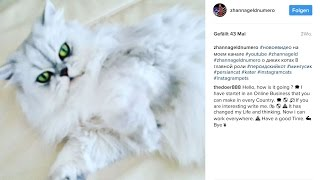 Персидские кошки : Маней охотница и Мингус паразит. 波斯貓, gatti persiani, ペルシャ猫,