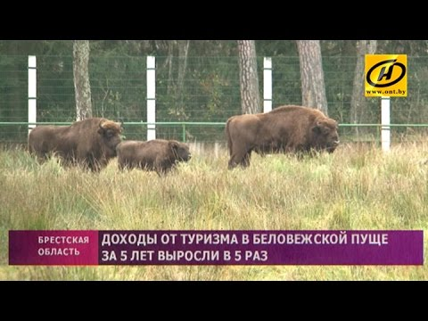 В 2016 году Беловежскую пущу уже посетили почти 300 тысяч туристов