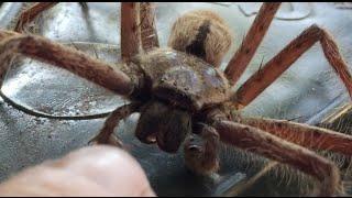 SCARY HUGE GIANT HUNTSMAN SPIDER INVASION!