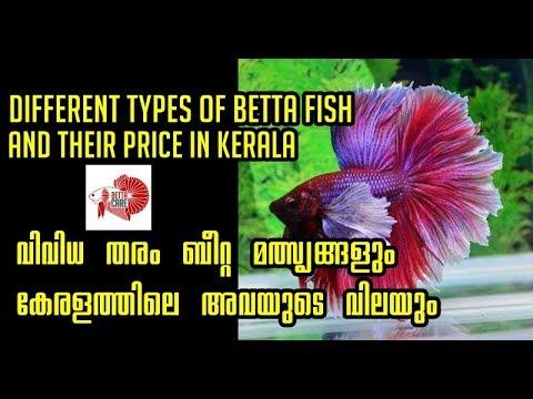 Types Of Betta Fish In Kerala And Their Price-ബീറ്റാ മത്സ്യങ്ങളും അവയുടെ വിലയും !