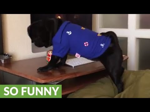 Pug knocks item off desk just like a cat