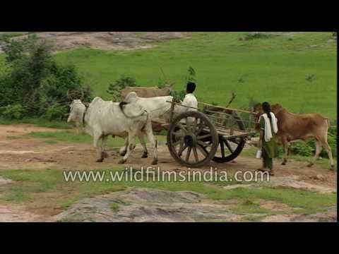 Good old fashioned Indian bael gadi or bullock cart, with village woman swimming