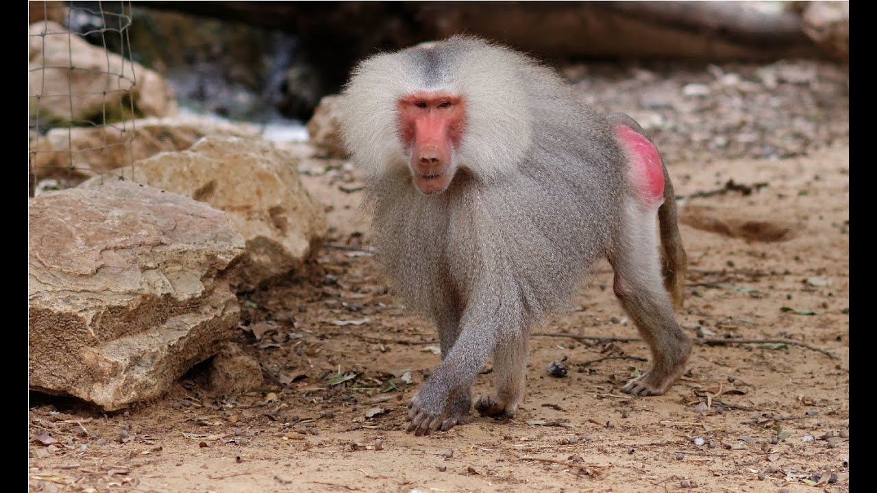 A Baboons But Amazing Facts A...