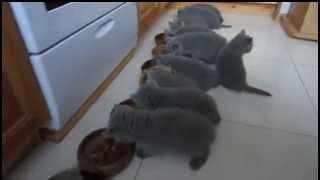Британские котята дружно едят