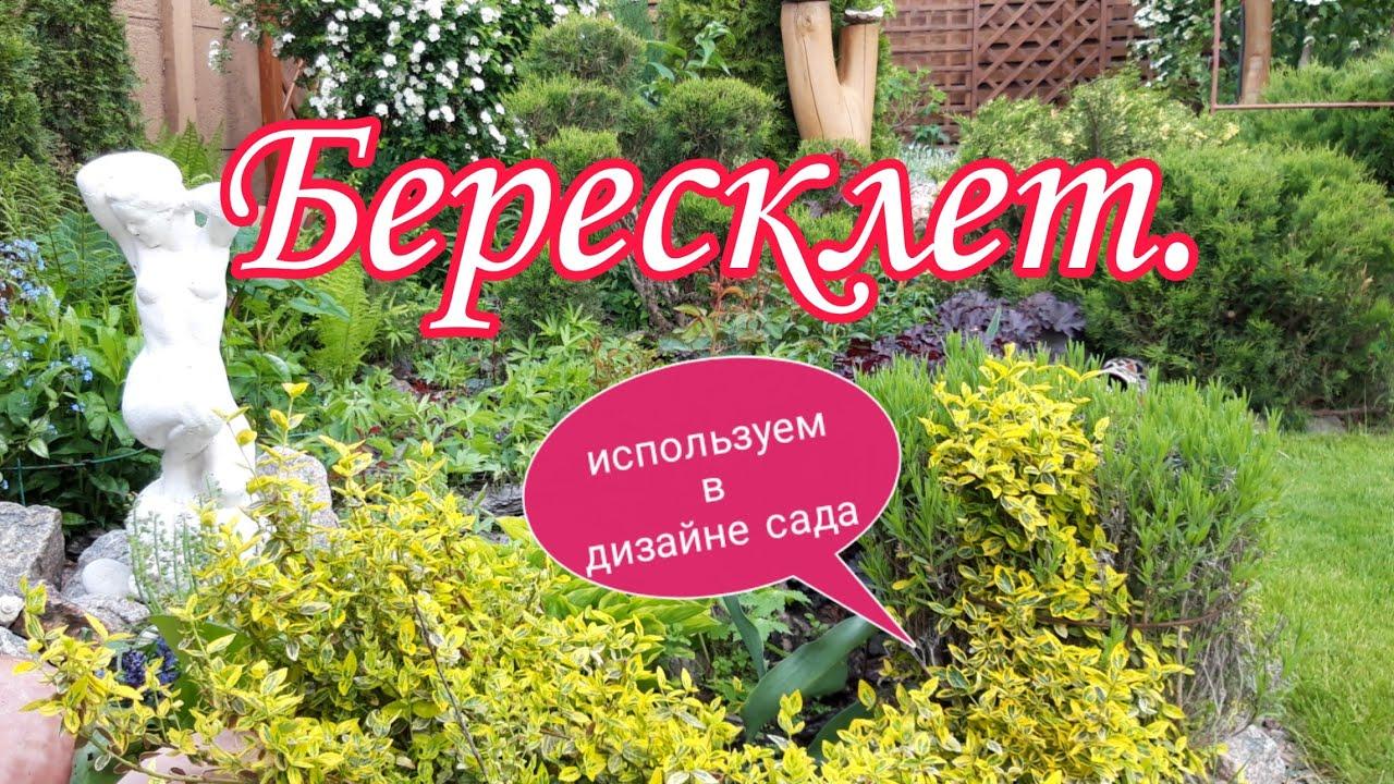 Бересклет.Используем в дизайне сада. Бересклет Форчуна.Красивый сад своими руками. Сад СветаСветланы