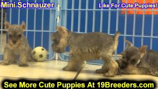 Miniature Schnauzer, Puppies, For, Sale, In, Kansas City, Missouri, Mo, Ballwin, Wentzville, Univers