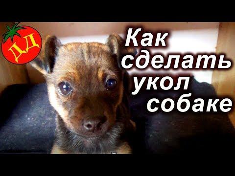 Прививка собаки ОТ ЧУМКИ (как сделать УКОЛ СОБАКЕ)