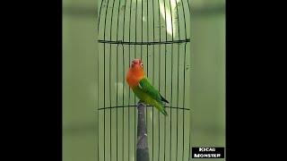 Gambar cover SAKURA | LOVEBIRD BIOLA NGEKEK PANJANG | FIGHTER