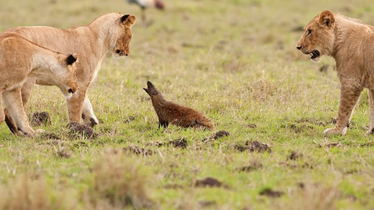 Mongoose Takes On A Pride Of Lions - YouTube