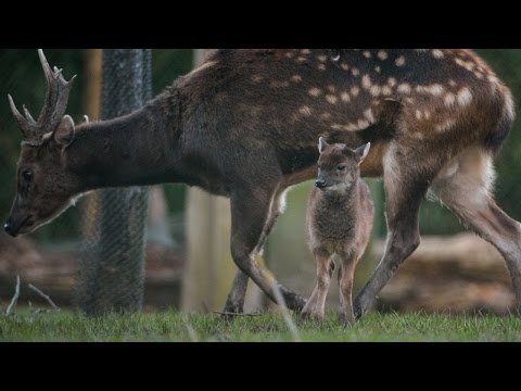 Rare 2-Week-Old Spotted Deer Born At Zoo Stays Close To Mom And Dad In Debut