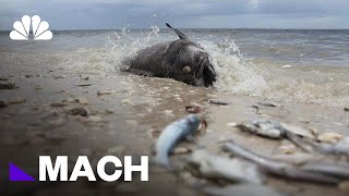 The Toxic Red Tide That's Decimating Florida's Marine Life | Mach | NBC News