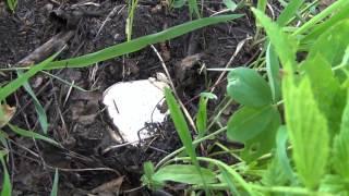 Громадные белые грибы нужно выкручивать и вот почему(, 2013-09-24T18:06:03.000Z)