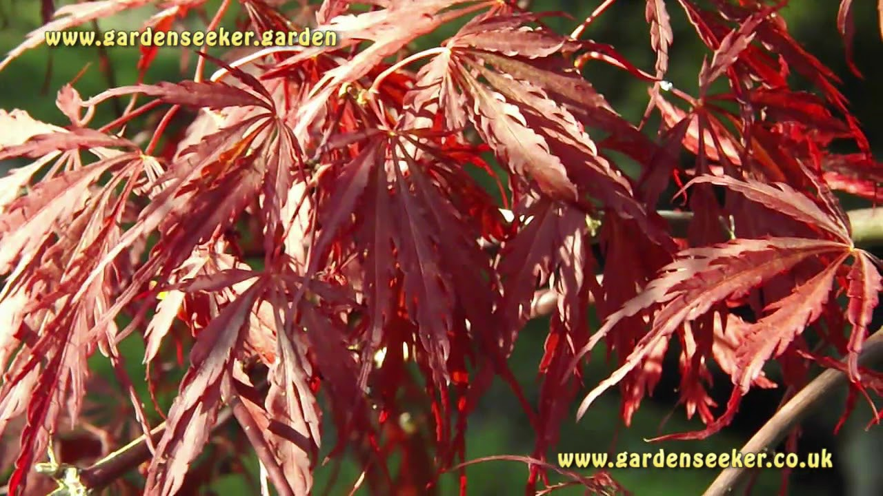 Acer Palmatum Dissectum Tamukeyama Youtube