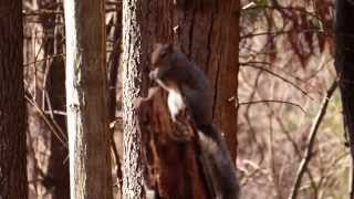 Eastern Gray Squirrel (Sciurus carolinensis) Please forgive the poor focus.