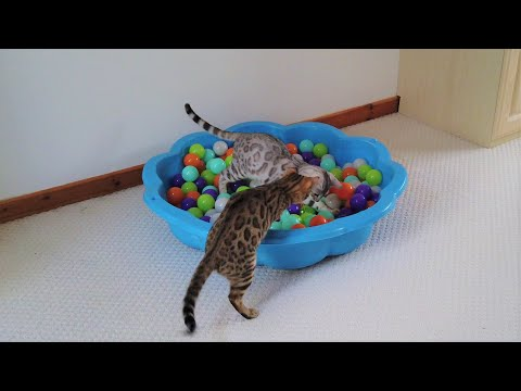 Bengal Cats Vs Laser Pointer | Ball Pit Edition | 4K