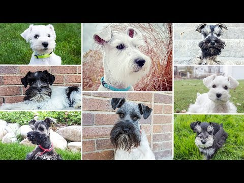 *UPCOMING Miniature Schnauzer Puppies* Get a Pre-Trained Puppy with SRC!