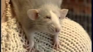 крыски умнее кошек!!!