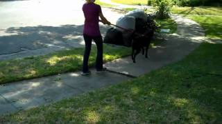 Riley The Lab | Redeeming Dogs | Dfw Dog Training