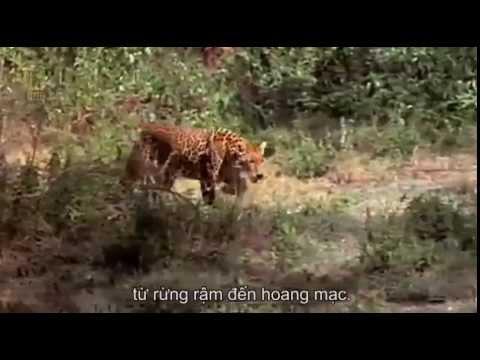 Loài báo ăn thịt cá sấu - Săn mồi siêu đỉnh