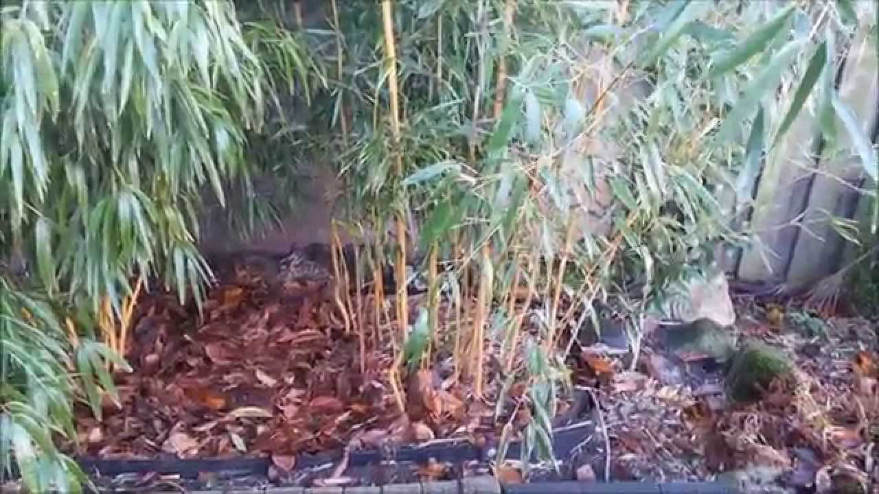 how to plant bamboo rhizomes in a pot youtube. Black Bedroom Furniture Sets. Home Design Ideas