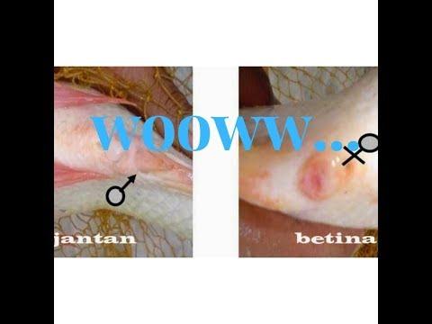 3 Cara Membedakan Ikan Nila Jantan Dengan Ikan Nila Betina Youtube