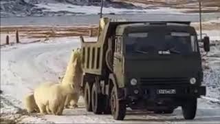 Диксон - голодные медведи-краснокнижники