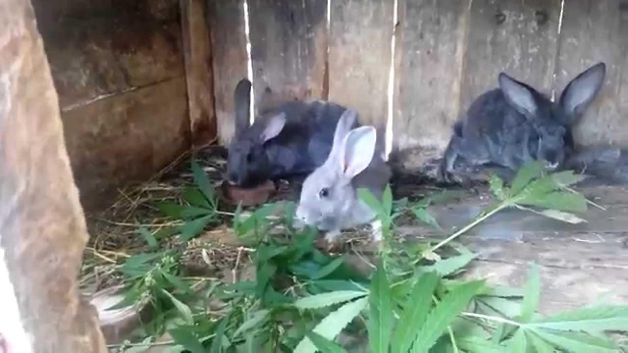 Конопля как кормить кроликов что нужно для выращивания конопли