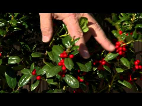 Holly plants aren't just for the holidays