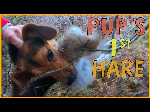 Beagle Pup's First Rabbit Hunt | Success!