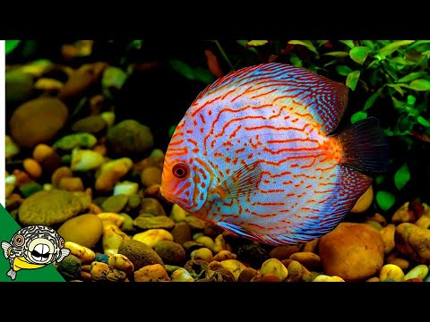 Discus Fish Care Guide  FOR BEGINNERS