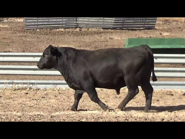Connealy Angus Lot 240