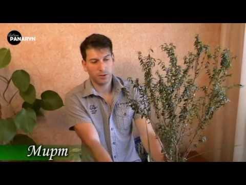 Мирт уход в домашних условиях Выращивание миртового