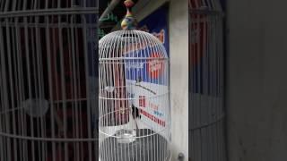 Kolibri Raja Kawin