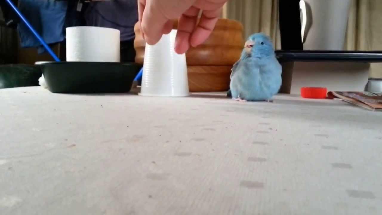 La perruche et le gobelet