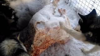 Правильное питание хасок, золотые собаки только столице южного Урала город златоуст