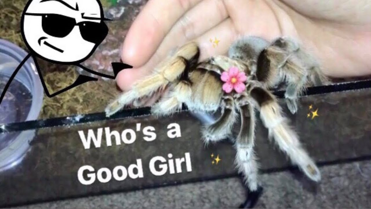 meet-all-my-friendly-tarantulas-best-beginner-tarantula