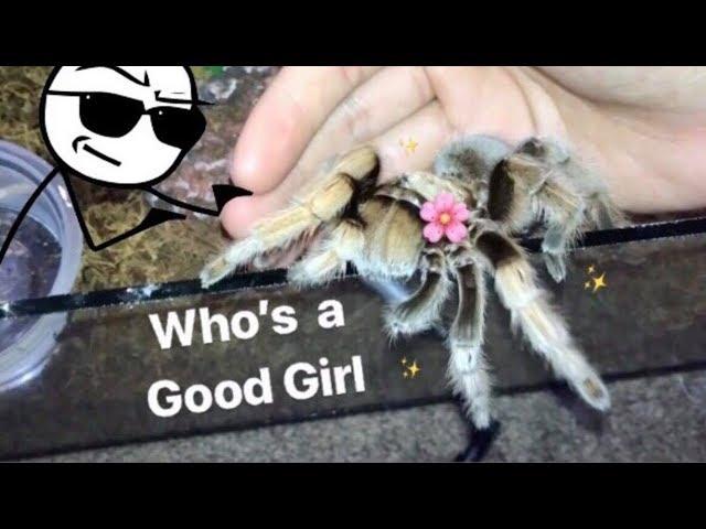 MEET all my FRIENDLY TARANTULAS !!! [Best beginner tarantula?]