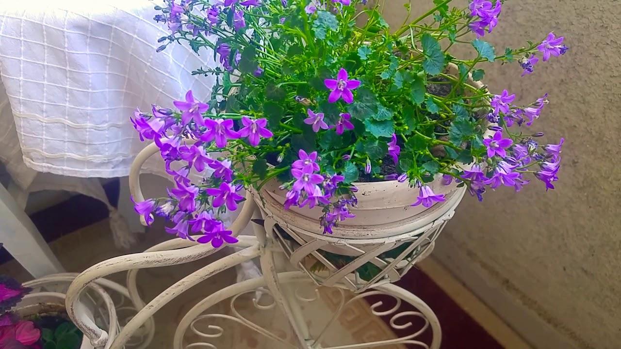 Campanula çan çiçeği Maviş çiçeği Bakımı çoğaltılması Ve