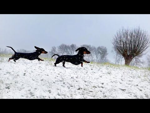 Dachshunds in the snow.