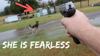 fearless-german-shepherd-saved-my-goats-from-wild-coyote-attack