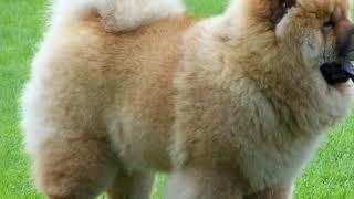 топ 5 самые дорогие собаки в мире