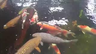 タイで最高級『錦鯉』売ります