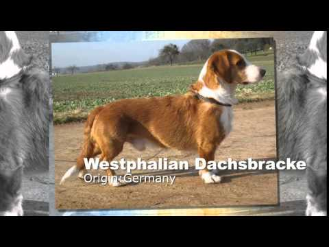 Westphalian Dachsbracke Dog Breed