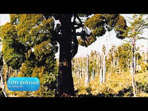 Деревья долгожители