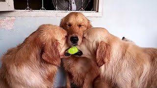 These golden retrievers will make you laugh your HEAD OF  Funny dog compilation