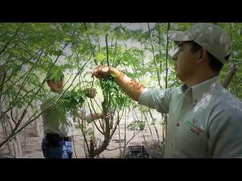 Para Que Sirve La Moringa - Propiedades, Beneficios Y Contraindicaciones De La Moringa