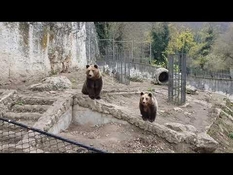 A pair of brown bears